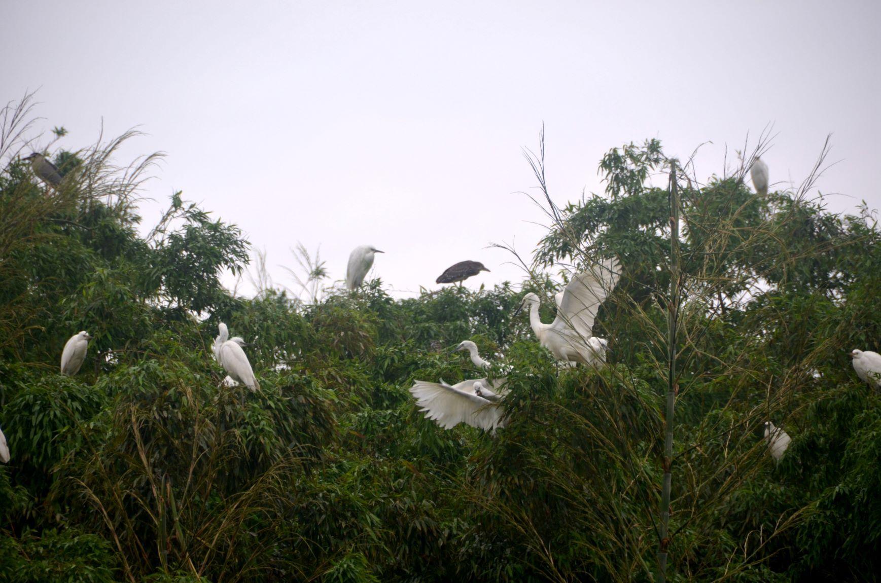 南京市高淳区桠溪街道:成群白鹭栖息乡村竹林场景壮观