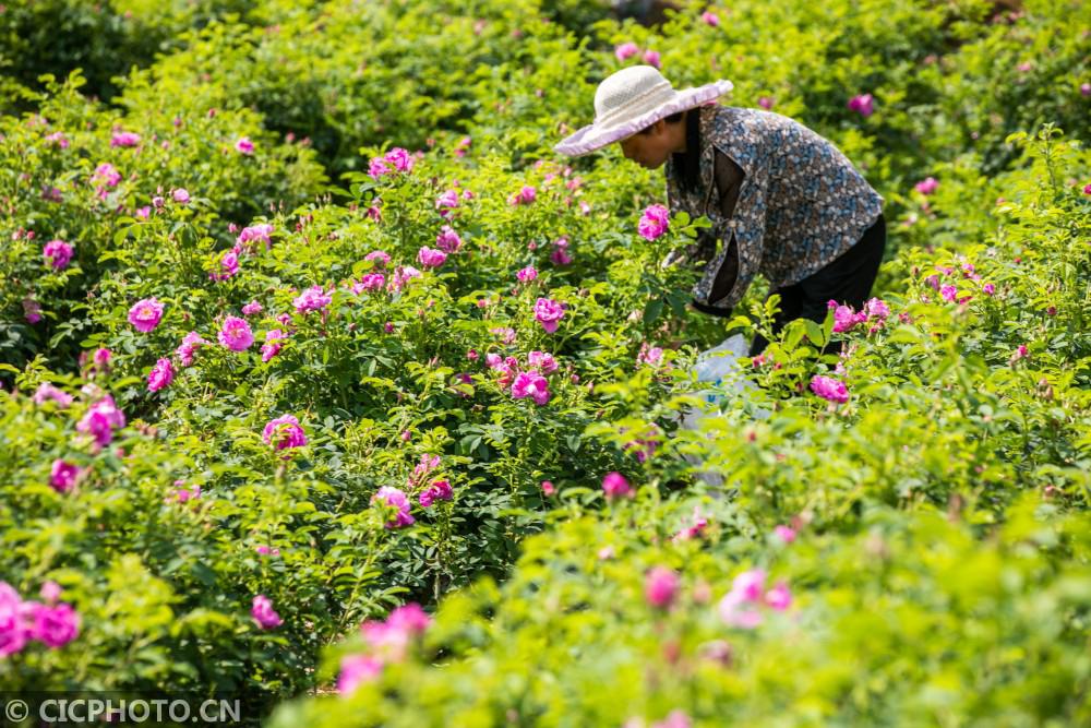 贵州毕节:小小山村玫瑰香