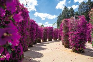 5000余盆叶子花装点大观公园打造火红五月天