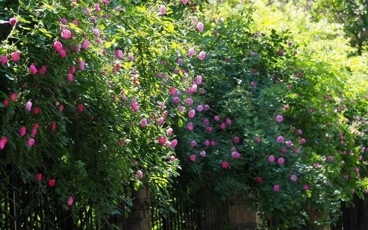 千佛山墙外这条路太美了,几百米路边全是蔷薇花