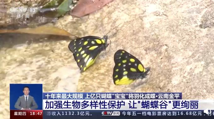 云南将爆发1.5亿只蝴蝶,网友:香妃是你嘛?