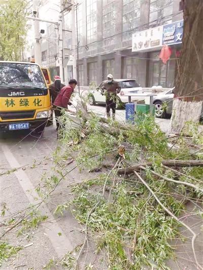 根系不稳或有病腐 呼和浩特多树木被大风刮断
