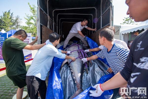 """货车拉十人抬:700斤蓝鳍金枪鱼海口上演""""开鱼秀"""""""