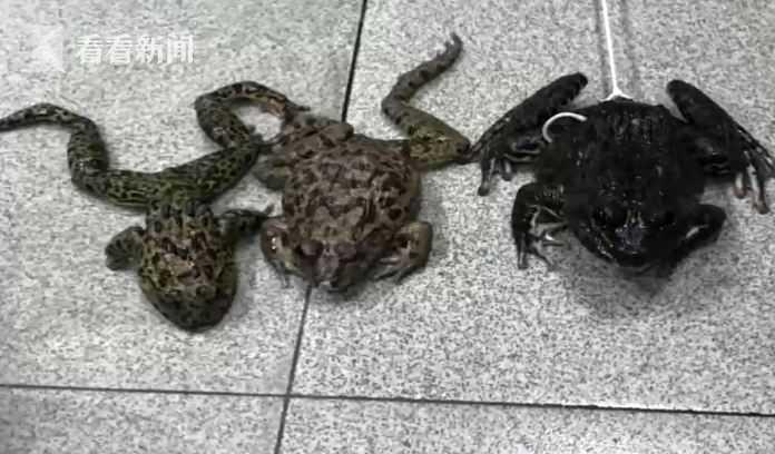 警方:系虎纹蛙!