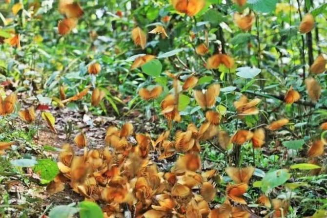 云南1.5亿只蝴蝶大爆发 场面比15万个香妃起舞还壮观