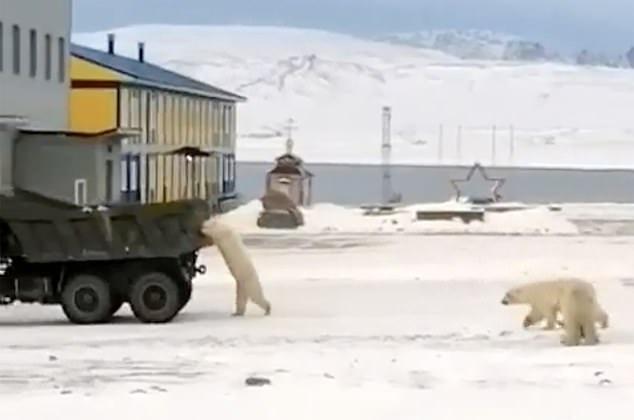 俄罗斯北极熊站立行走 抓住一辆行驶中的卡车寻找食物