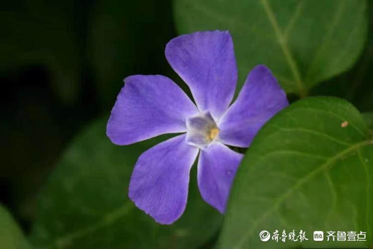 四季长春铺藤蔓, 花开小巧而又典雅