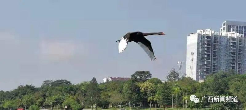 稀客到!南宁相思湖来了只黑天鹅