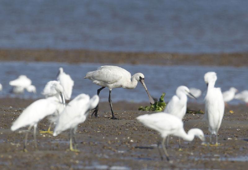 广西北部湾:候鸟纷飞入画来