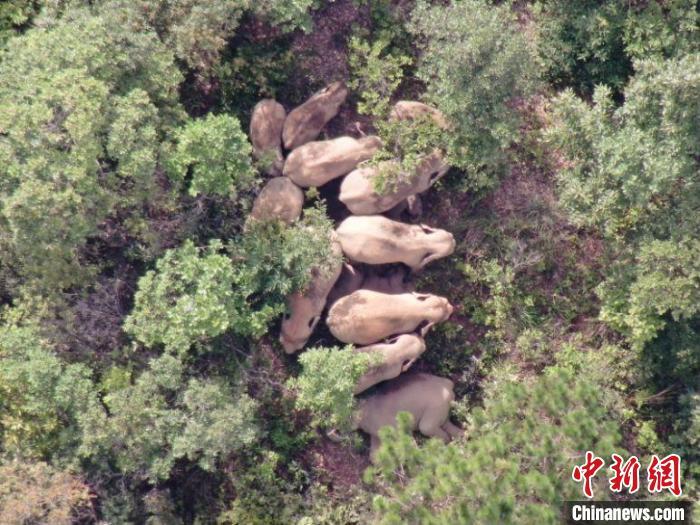 云南北移象群向东北方迂回移动 独象进入玉溪市红塔区