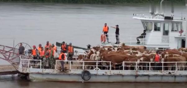 """乘坐""""专船""""!黑龙江洪峰来临前黑河160头牛上演大迁移"""