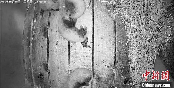 """小熊猫四胞胎在成都大熊猫繁育研究基地诞生 """"母子""""均安"""