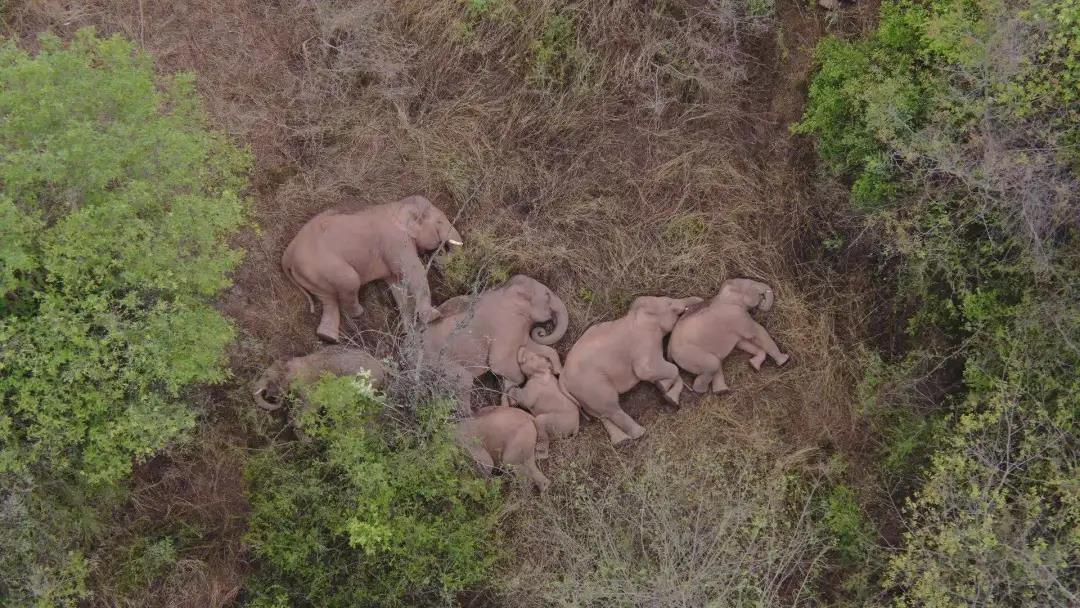 """新京报:大象流浪是为了找到更好吃的""""东西""""图片"""