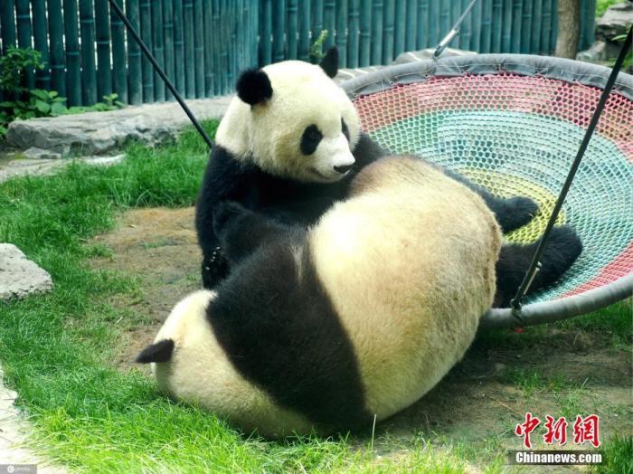 大熊猫受威胁程度等级由濒危降为易危 还是国宝吗?