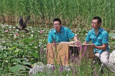 """24只小鸳鸯""""安家""""北京城市副中心绿心公园"""