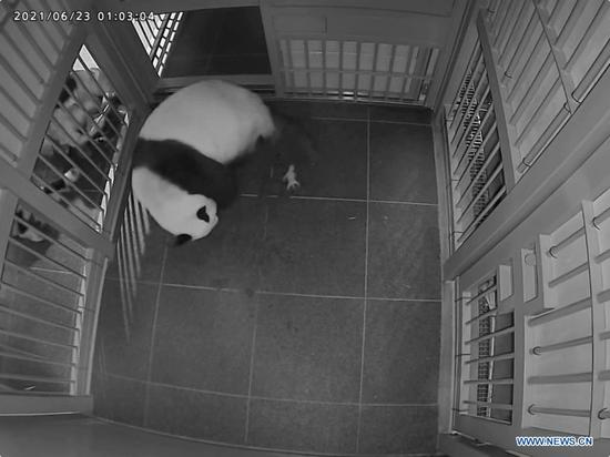 Giant panda Shin Shin gives birth to a cub at the Ueno Zoological Gardens in Tokyo, Japan, June 23, 2021. Popular giant panda Shin Shin has given birth to twin cubs at the Ueno Zoological Gardens in Tokyo, her first delivery in four years, local media reported Wednesday. (Tokyo Zoological Park Society/Handout via Xinhua)