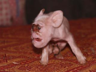 """母猪竟然生下""""猴崽"""" 猪身猴脸"""