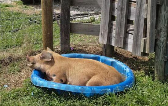 """日本天气太热导致啤酒滞销 生猪都""""减肥""""了"""