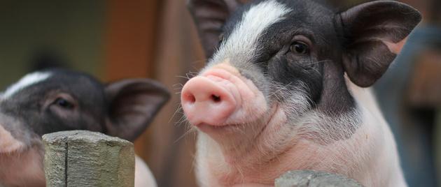 非洲猪瘟最新消息:我国科学家创制了候选疫苗 有这5大进展