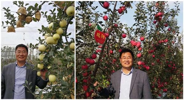 """两个优质晚熟苹果新品种""""瑞阳""""""""瑞雪""""由西北农林科技大学赵政阳教授团队育成。高华摄"""