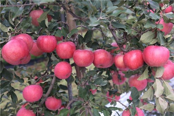 """""""瑞阳""""苹果品种。高华摄"""