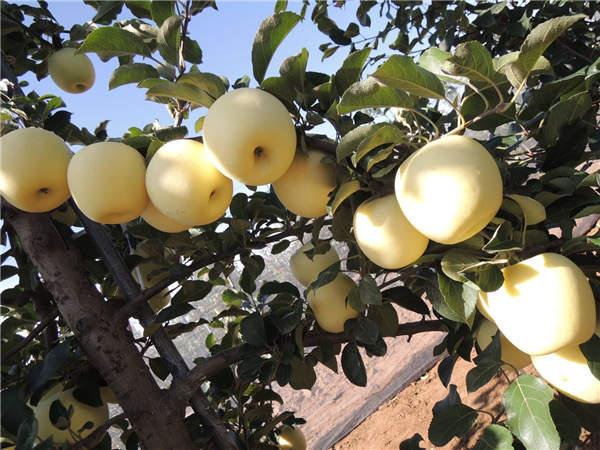 """""""瑞雪""""苹果品种。高华摄"""