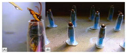 版纳植物园发现胡蜂具有超长嗅觉记忆