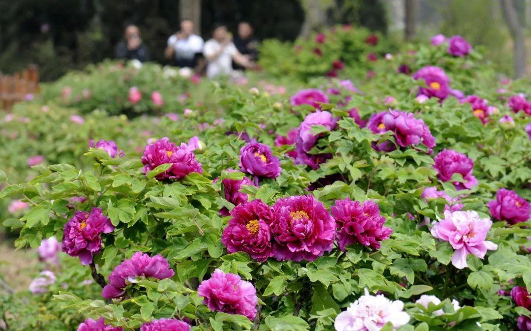 中国花卉协会推荐牡丹为国花 网友评论亮了