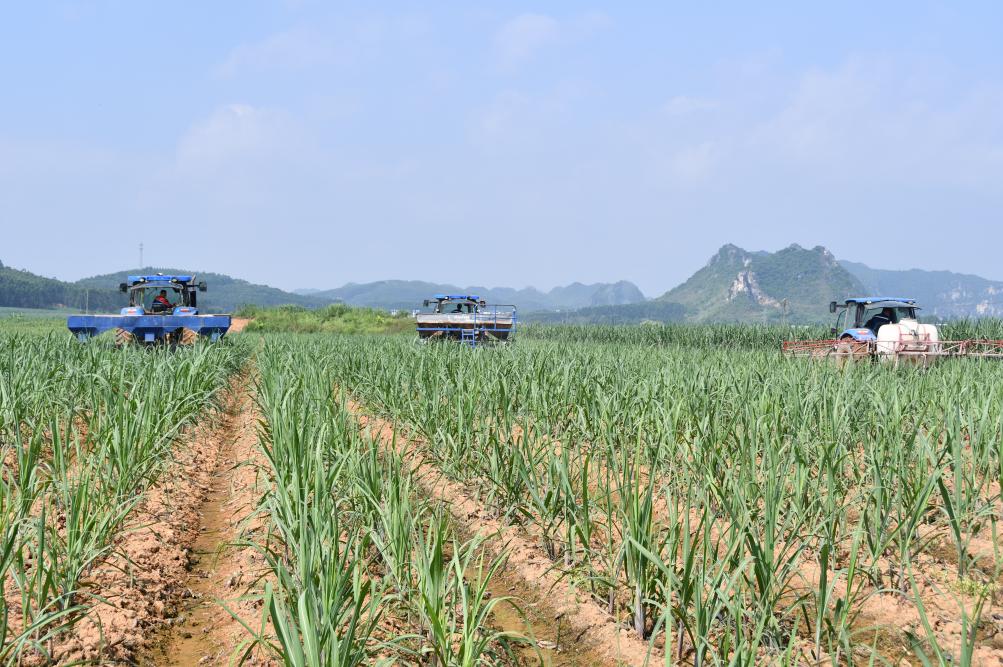 """2014年以來崇左已建設甘蔗""""雙高""""基地193.38萬畝"""