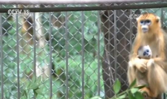 秦岭珍稀动物繁育季 金丝猴繁育创十年来最佳纪录|央视网
