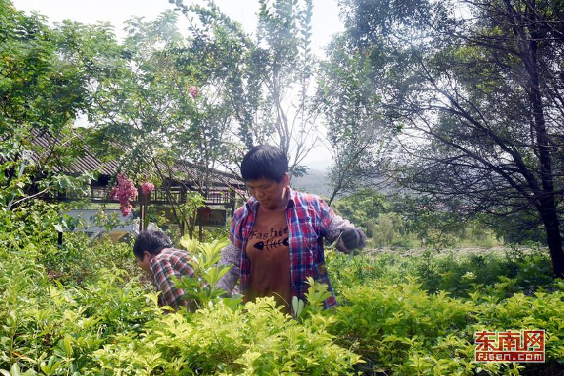 龙山镇坪埔村聘请村民定期修建维护花木。陈巧云 摄