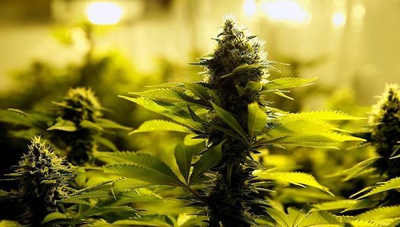 卢森堡在欧洲首推大麻合法化 届时游客可别轻易尝试