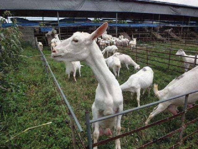 <b>羊入怪圈为哪般:羊奶价格10元变4元 奶羊当肉羊卖</b>