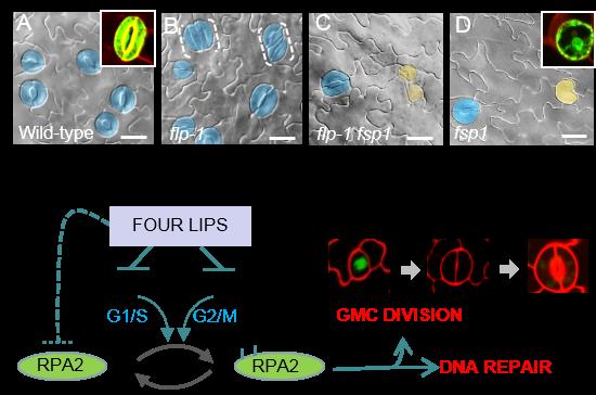 植物所揭示气孔保卫细胞分裂精细调控机制