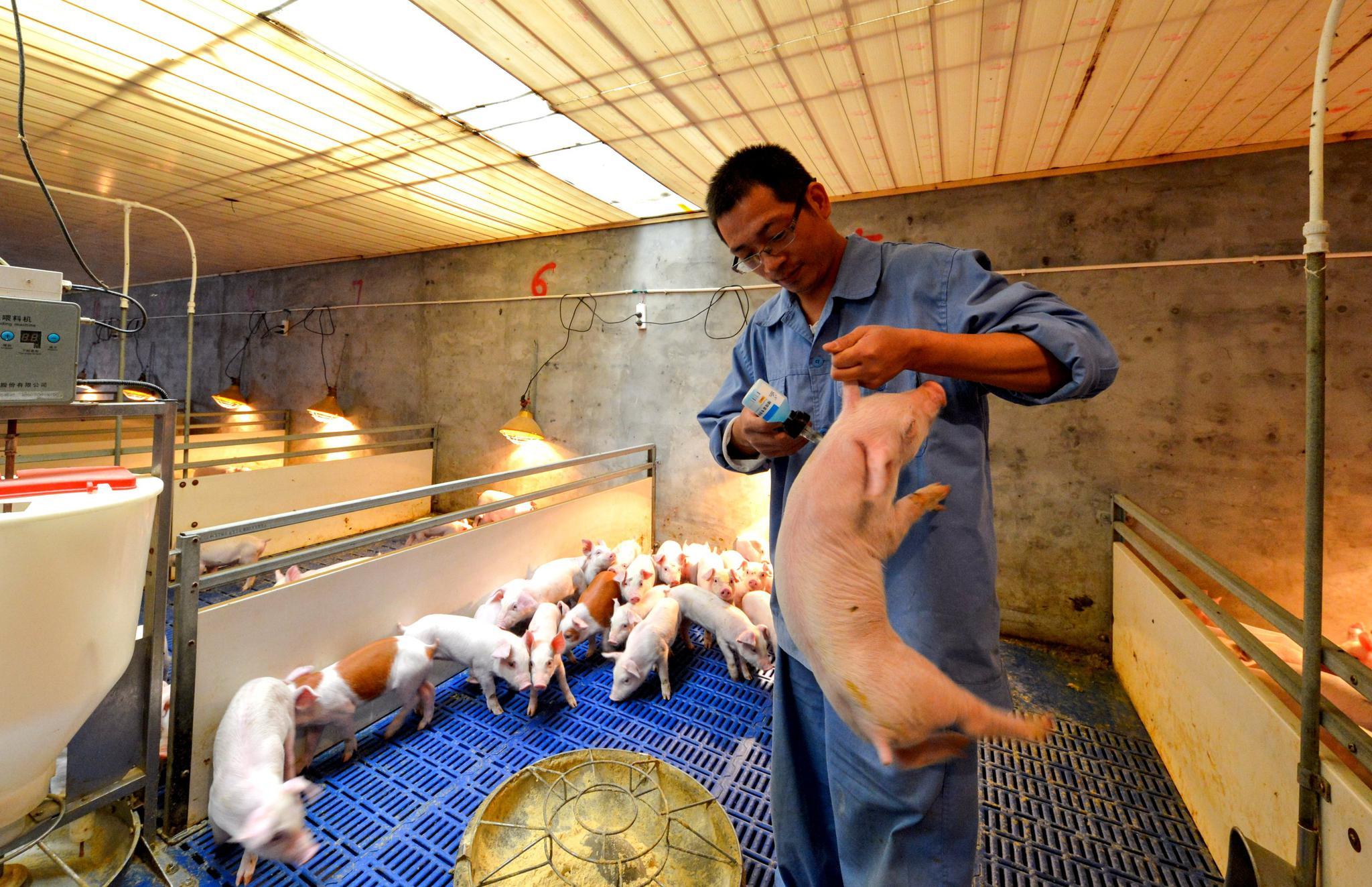 保供稳价!国务院督促各地加快发放非洲猪瘟强制扑杀补助,综合施策恢复生产