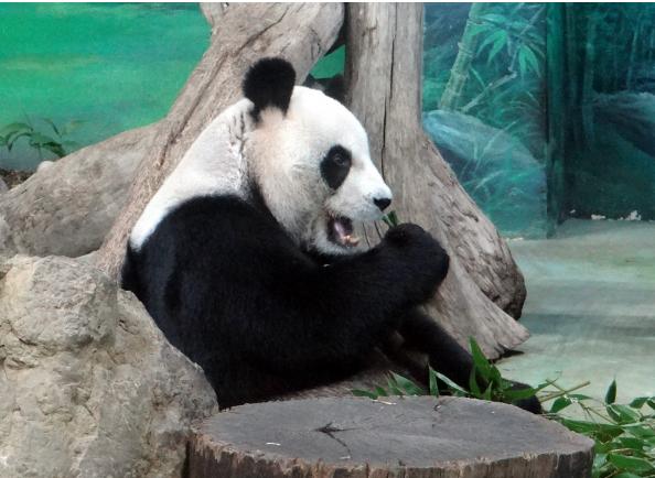 大陆赠台大熊猫将过15岁生日生日蛋糕概念图曝光