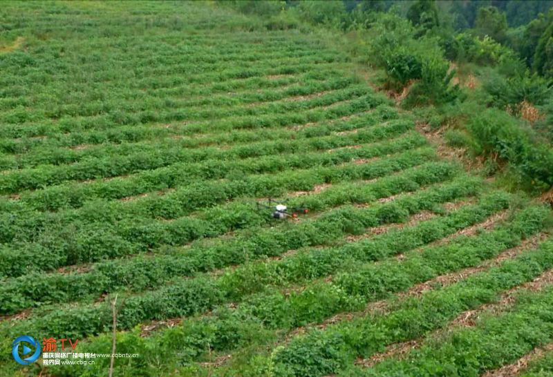 重庆首次试点全程机械化玉米套种大豆