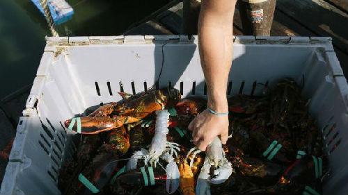 商业战重创好国龙虾财产,却不测动员了减拿年夜对华龙虾出心。(好国阿克西奥斯消息网站)
