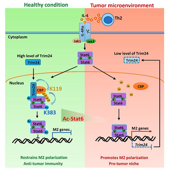 营养与健康所发现Stat6乙酰化调控抗肿瘤免疫反应新机制