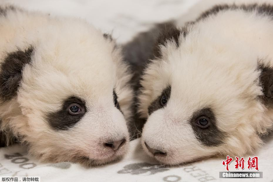 两只糯米团子 柏林动物园发布双胞胎大熊猫宝宝组照