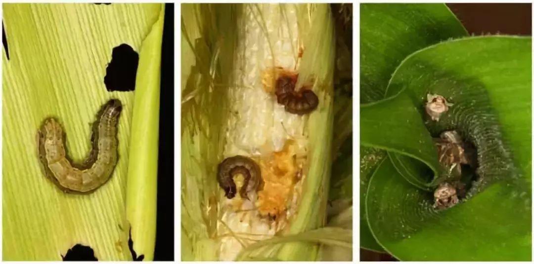 ▲被草地贪夜蛾啃食的玉米 图自四川省农业农村厅官网