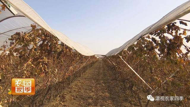 壮壮帮忙:葡萄树的基肥该如何施?