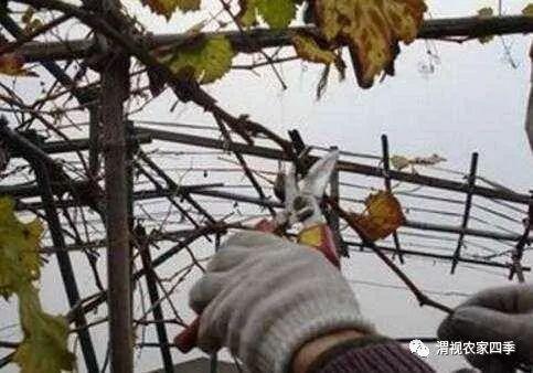 葡萄树冬季修剪很重要