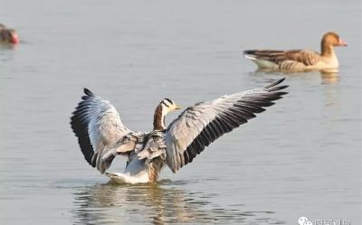 能飞越珠峰的斑头雁  为何来武汉府河湿地过冬