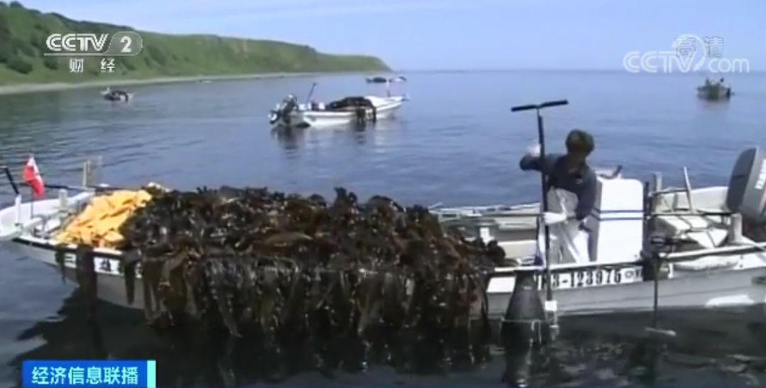 到本世纪中叶 日本的海带能够永久消逝