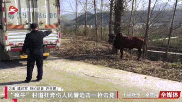 """""""疯牛""""路上横冲直撞,被十堰民警一枪击毙!村民这样说..."""