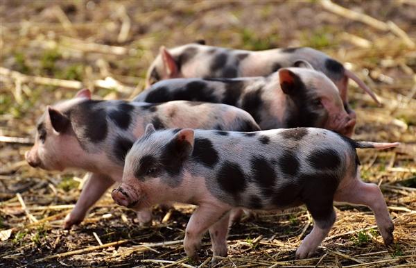 猪肉价格上涨!河南养猪大户财富增长全球最快:今年净资产涨4倍