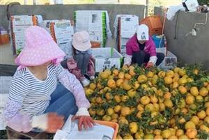 昌宁县:柑橘润得人心甜