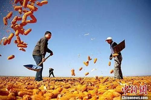 """资料图:农民挥动铁锨晾晒玉米,使得满地尽带""""黄金甲"""",成为一道靓丽的风景线。赵琳 摄"""