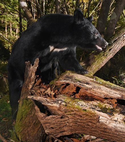 资料图:黑熊(河北新报)